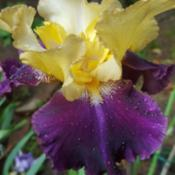 Photo of Tall Bearded Iris (Iris 'Jamaican Dream')