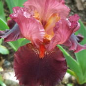 Photo of Tall Bearded Iris (Iris 'Wearing Rubies')