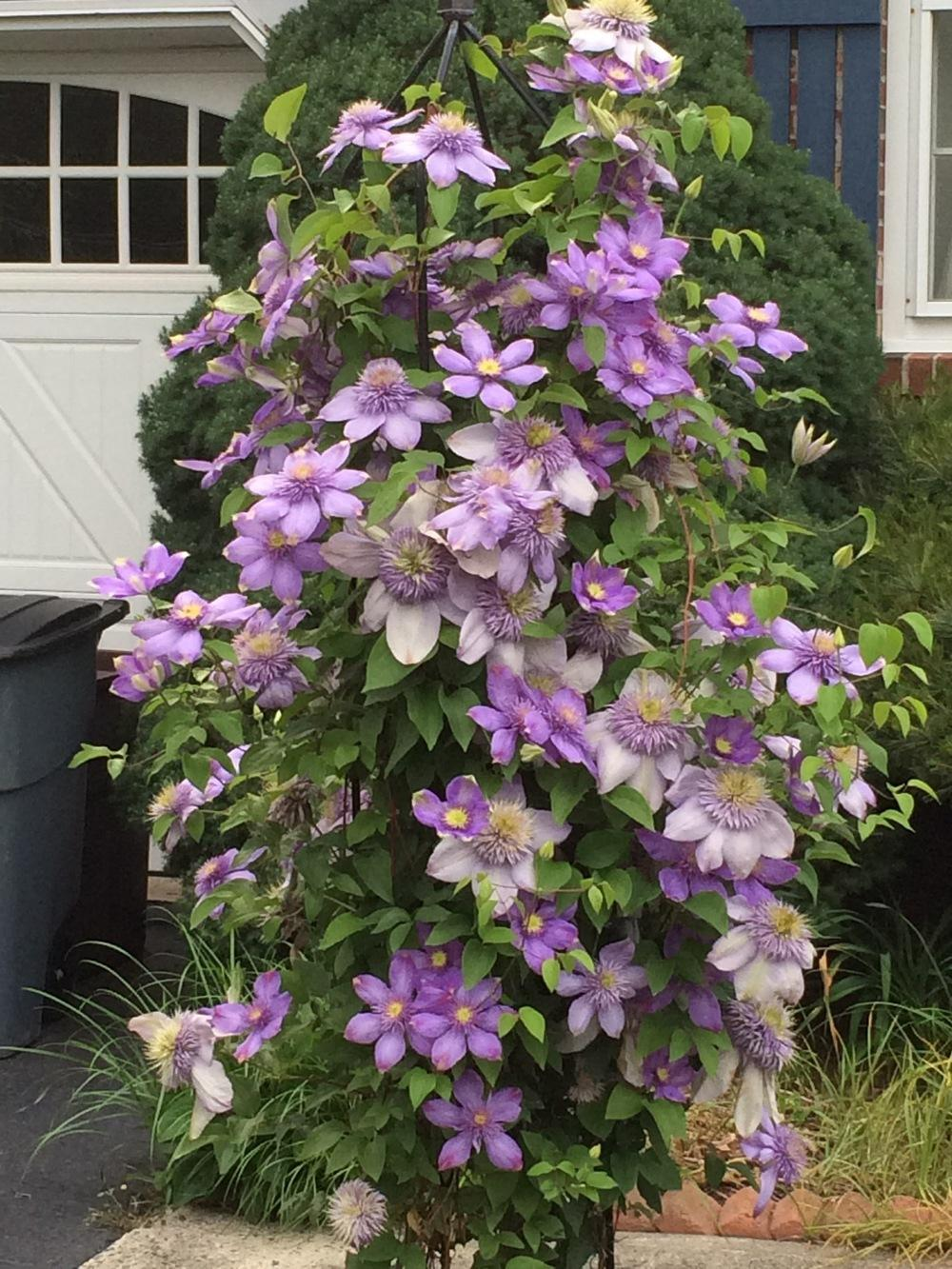 Photo of Clematis Blue Light™ uploaded by Njiris
