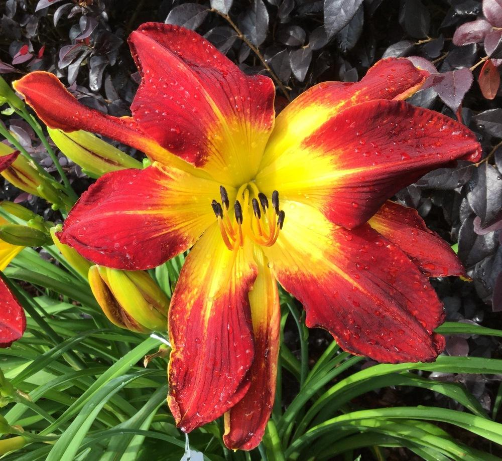Photo of Daylily (Hemerocallis 'Ruby Spider') uploaded by scflowers