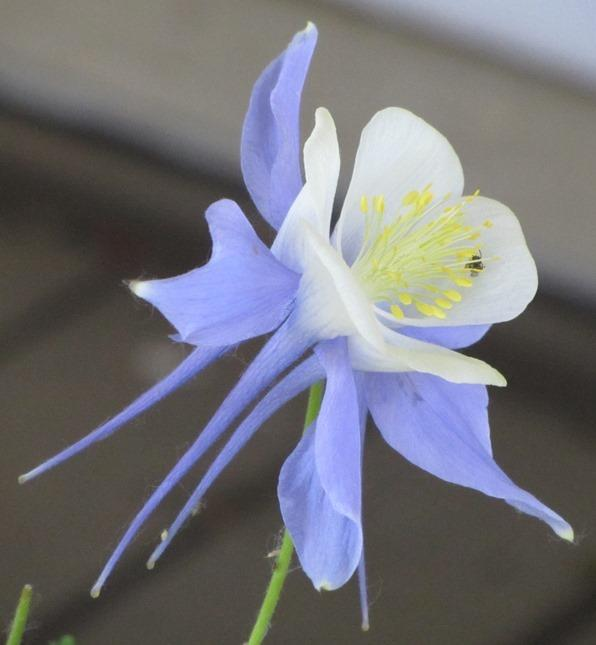 Photo of Columbine (Aquilegia 'Songbird Bluebird') uploaded by Bloombuddie