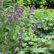 Date: 2016-06-05alchemilla mollis growing with common sage