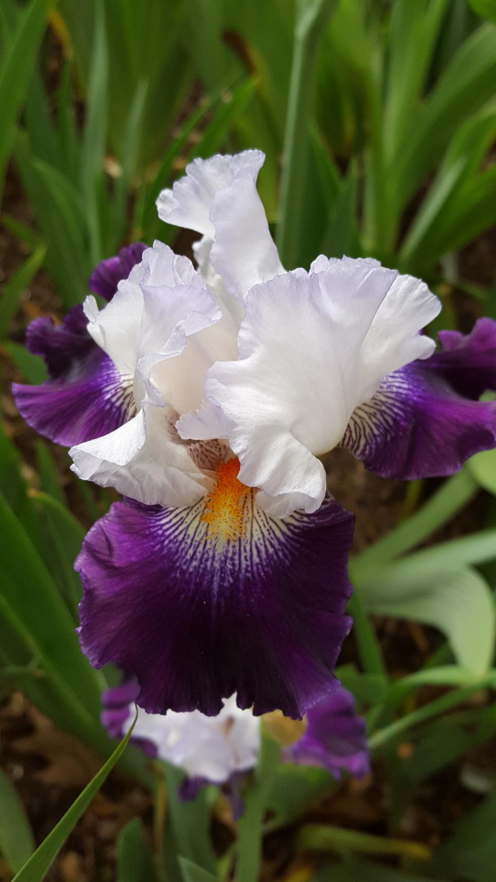 Photo of Tall Bearded Iris (Iris 'Cleared for Takeoff') uploaded by Dachsylady86