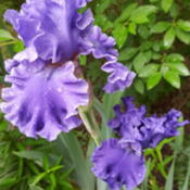 Photo of Tall Bearded Iris (Iris 'Sea Power')