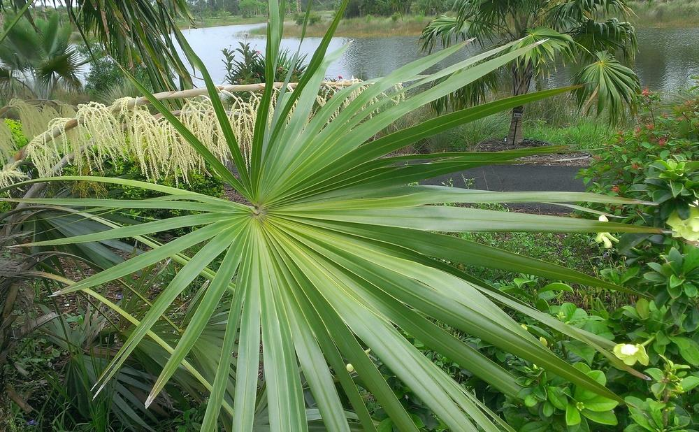 Photo of Key Thatch Palm (Thrinax morrisii) uploaded by Dutchlady1