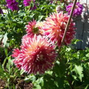 Location: WADate: SummerThis dahlia needs lots of staking, multiple big blooms