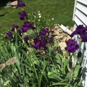 Location: my zone 5 gardenDate: 2016-06-05Just beautiful - This one only had about 4 blooms the f