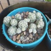 Location: Orange CADate: 2016-06-06Mammillaria Gracilis