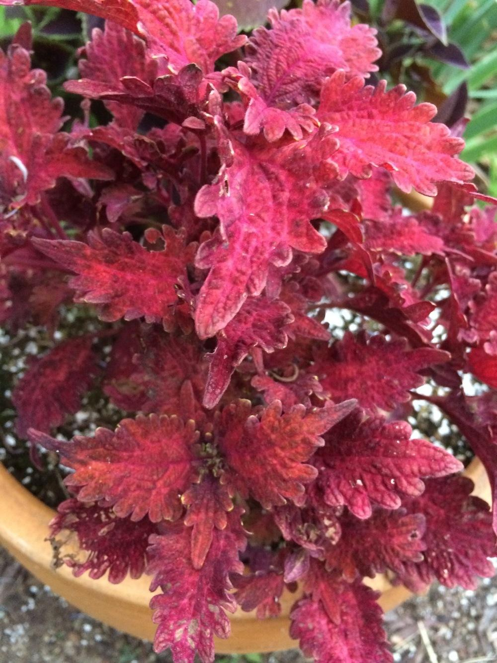 Photo of Coleus (Plectranthus scutellarioides 'Copper') uploaded by Njiris