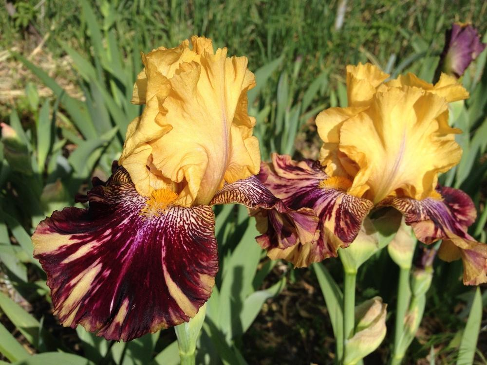 Photo of Tall Bearded Iris (Iris 'Ziggy') uploaded by SpringGreenThumb