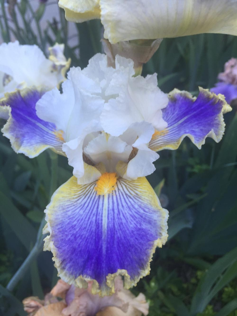 Photo of Tall Bearded Iris (Iris 'Wild Angel') uploaded by SpringGreenThumb