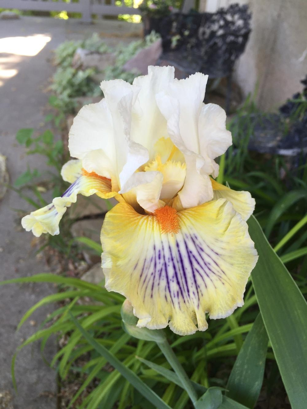 Photo of Tall Bearded Iris (Iris 'Expose') uploaded by SpringGreenThumb