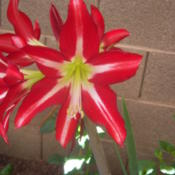 Location: AZDate: 2016-04-15Very bright red star  shaped Amaryllis.