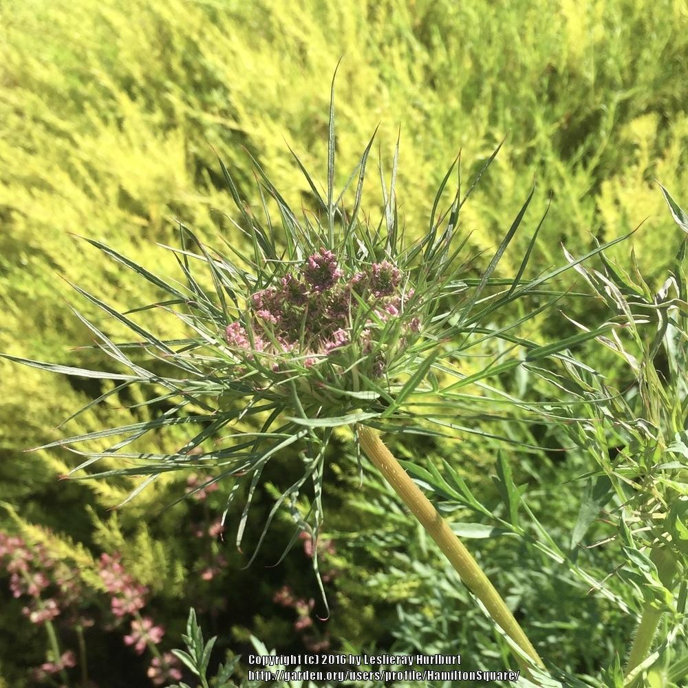 Photo of Carrot (Daucus carota subsp. sativus 'Purple Haze') uploaded by HamiltonSquare