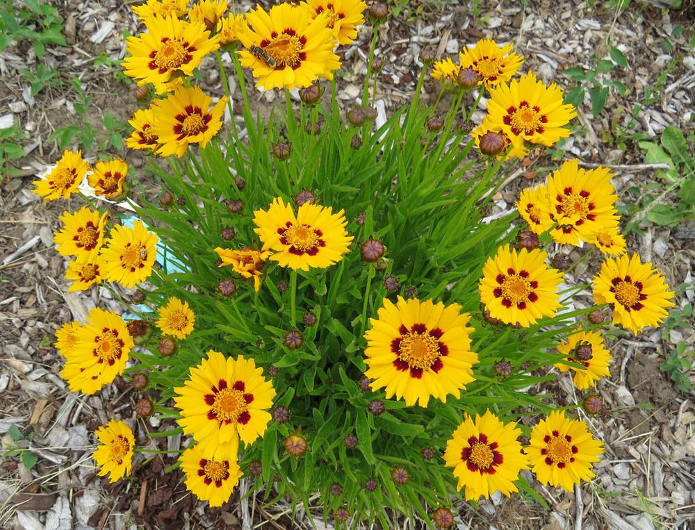 Photo of Tickseed Coreopsis (Coreopsis grandiflora 'Sunfire') uploaded by Natalie