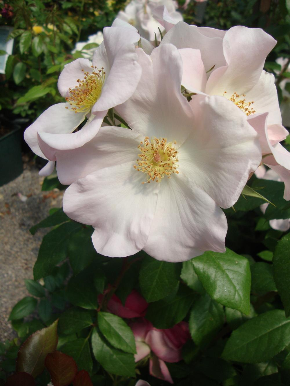Photo of Rose (Rosa 'Sally Holmes') uploaded by Paul2032