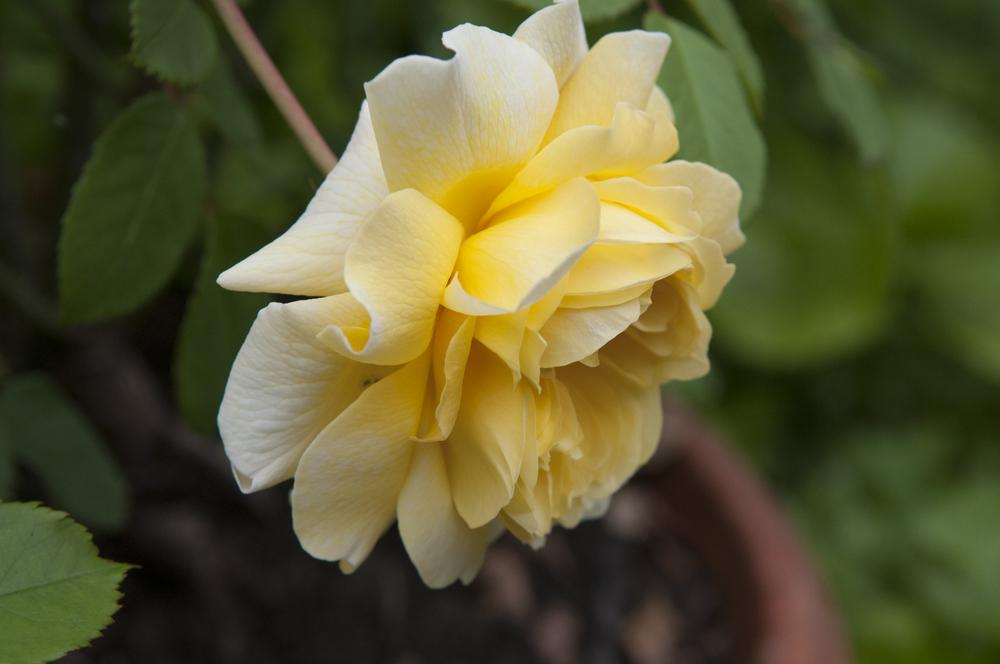 Photo of Rose (Rosa 'The Poet's Wife') uploaded by cliftoncat