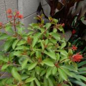 Location: AZDate: SummerThis first year shrub grew very quick and the hummingbi