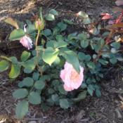 Location: My garden, Pequea, PA 17565Date: 2016-06-10Planted spring, 2016. Own root. Source: Chamblee Rose Nursery