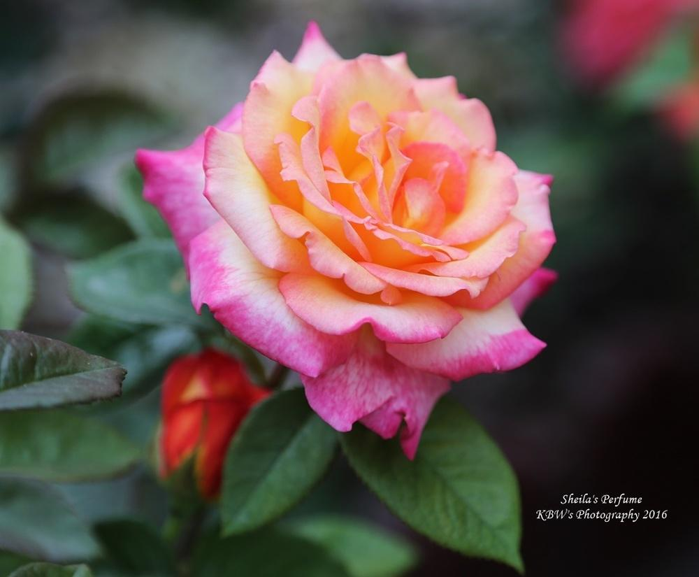 Photo of Rose (Rosa 'Sheila's Perfume') uploaded by kbw664