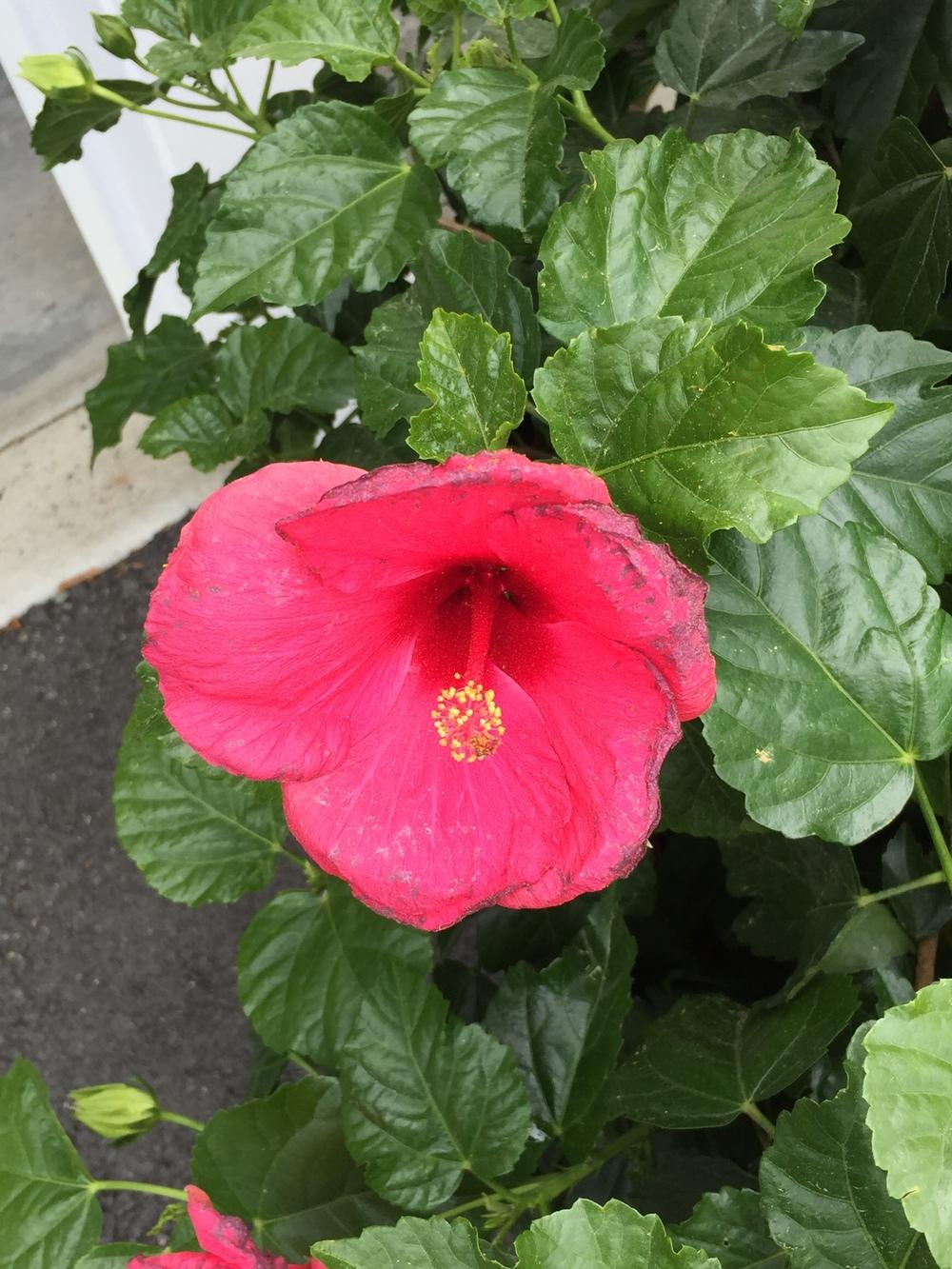 Ask a question forum hibiscus flower edges are turning black thumb of 2016 06 10visitore110f5 izmirmasajfo