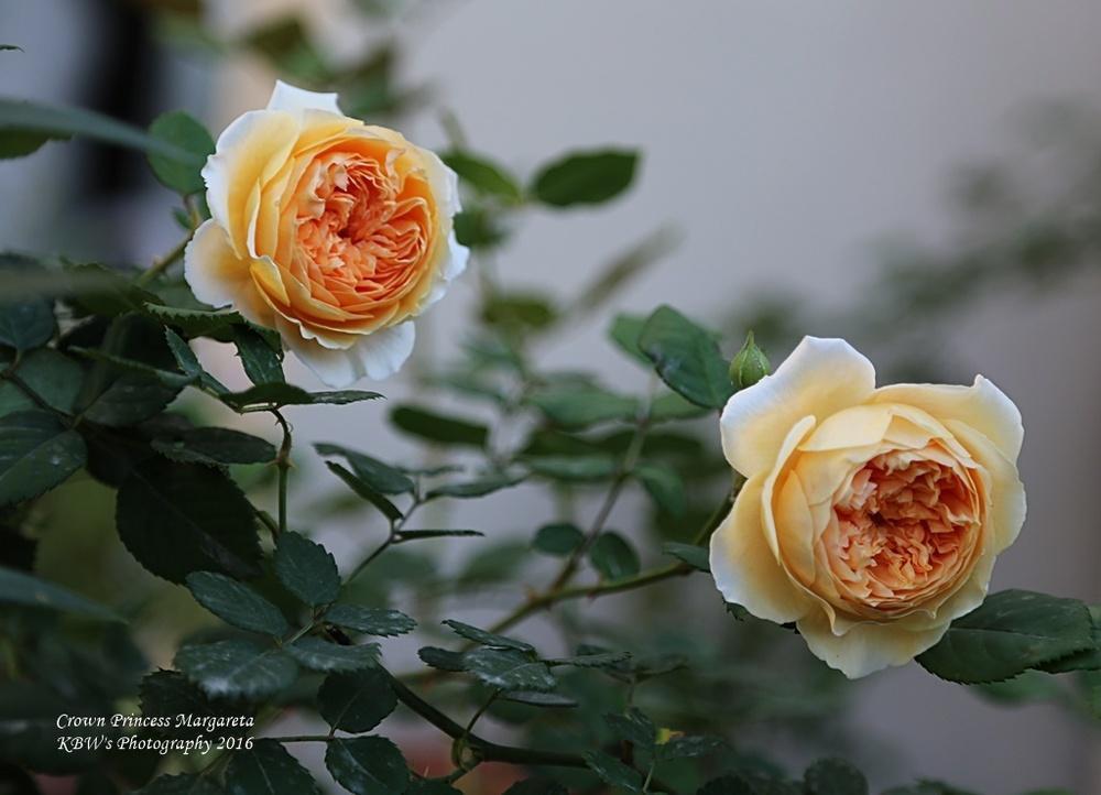 Photo of Rose (Rosa 'Crown Princess Margareta') uploaded by kbw664
