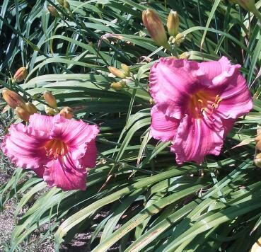 Photo of Daylily (Hemerocallis 'Gordon Biggs') uploaded by lovemyblooms