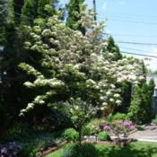 Location: My backyard in Allentown, PADate: 2016-05-20One of my dogwoods peaking on 20 May 2016.
