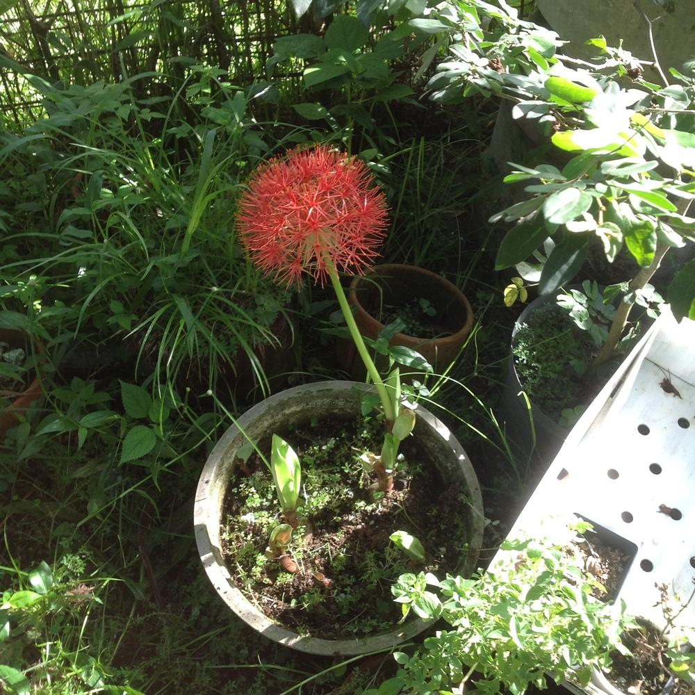 Photo of African Blood Lily (Scadoxus multiflorus) uploaded by prabhisetty