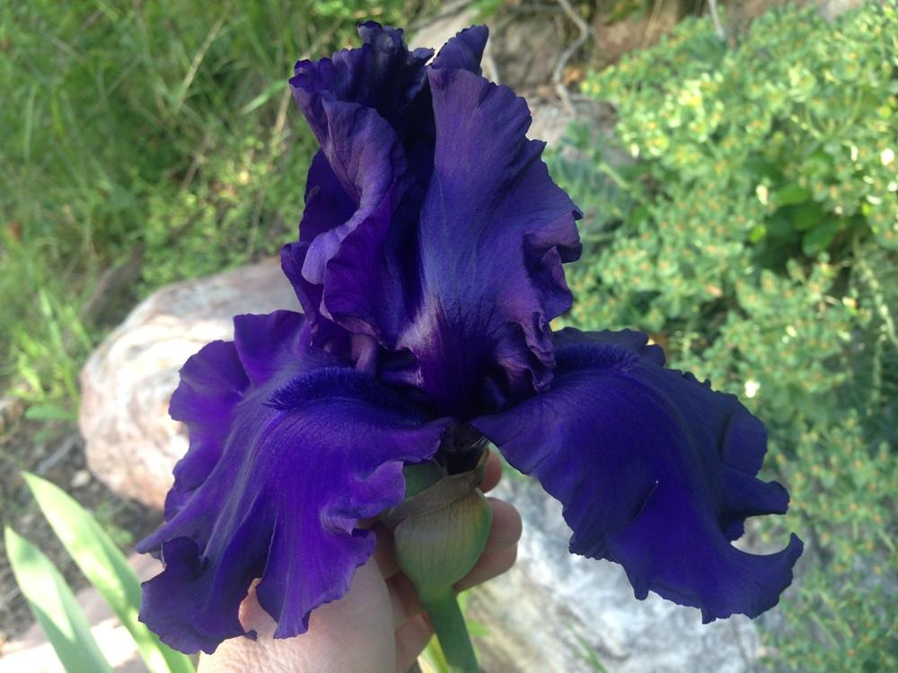 Photo of Tall Bearded Iris (Iris 'Dusky Challenger') uploaded by SpringGreenThumb