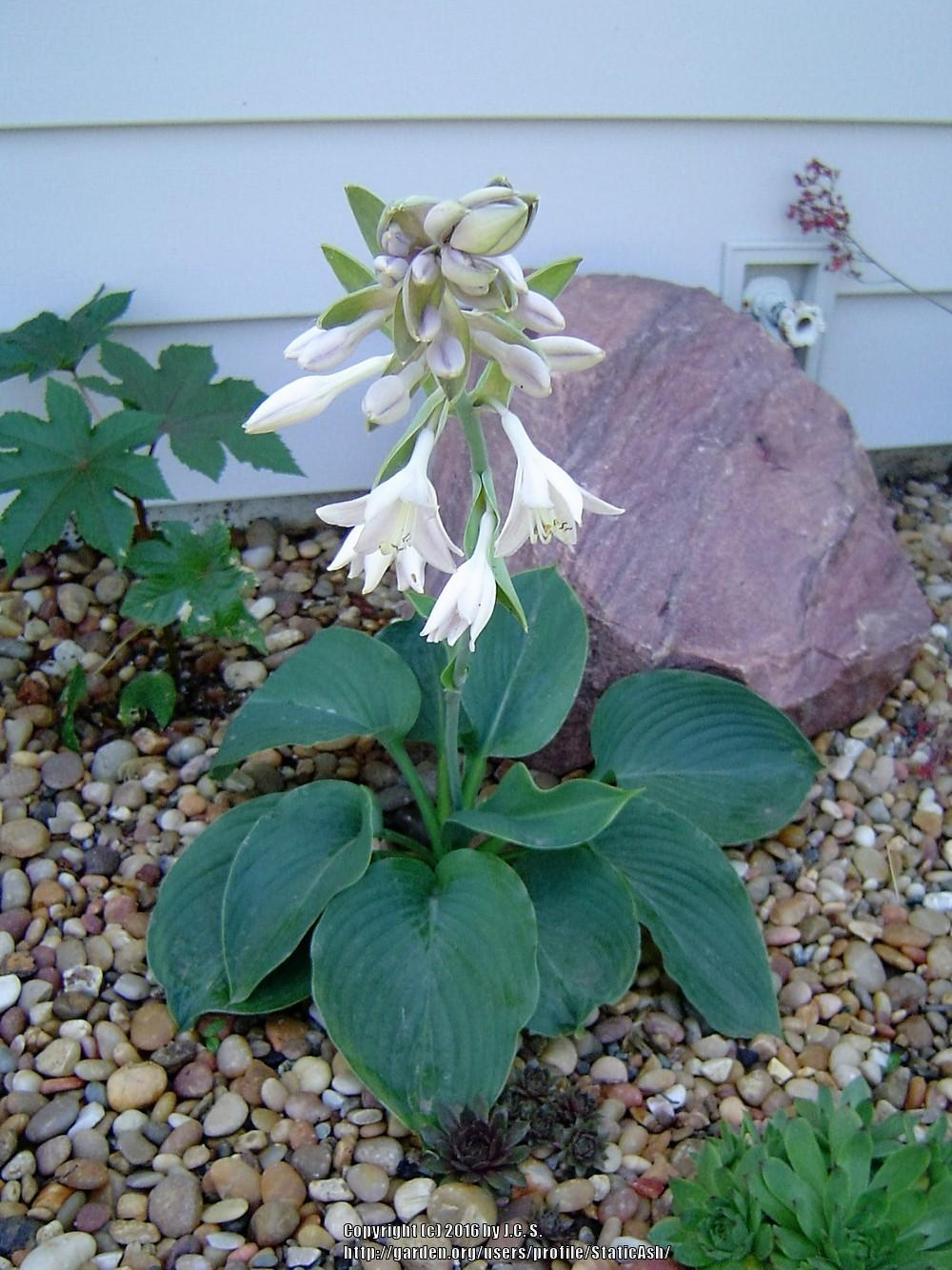 Photo of Hosta 'Empress Wu' uploaded by StaticAsh