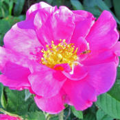 Location: My GardensDate: June 12, 2016My Wild Indiana Rose
