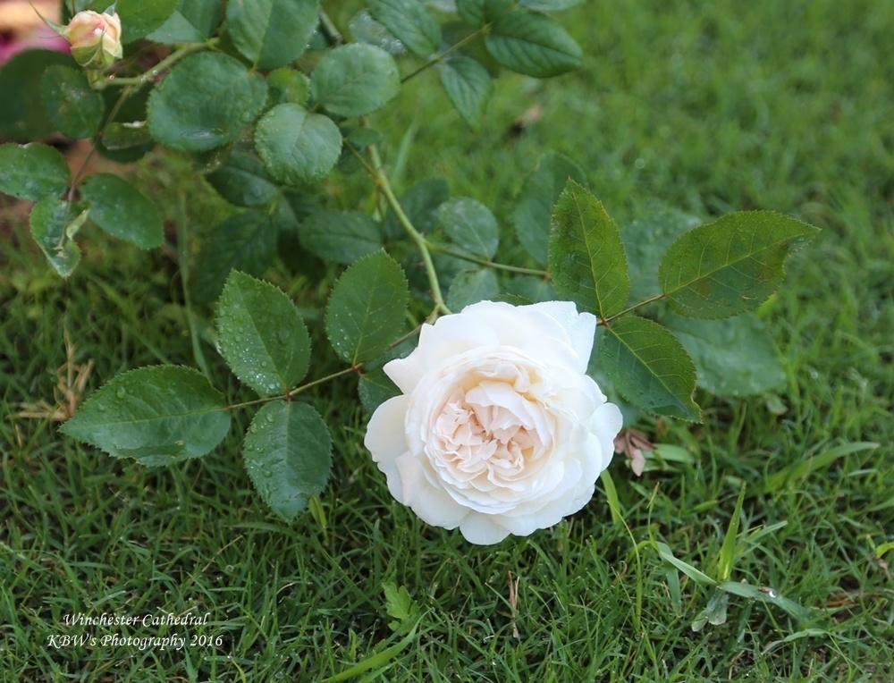 Photo of Rose (Rosa 'Winchester Cathedral') uploaded by kbw664