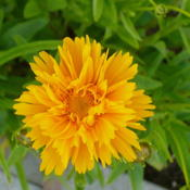 Location: Nora's Garden - Castlegar BCDate: 2016-06-12 5:42 pm. A vibrant seedling of Coreopsis 'Early Sunris
