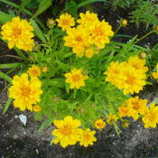 Location: Nora's Garden - Castlegar BCDate: 2016-06-12 5:42 pm. Another seedling of Coreopsis 'Early Sunrise'