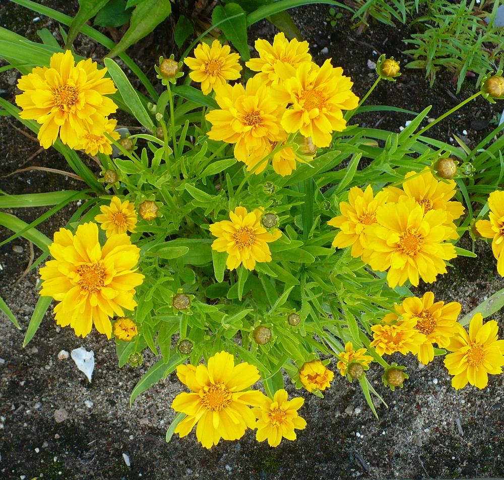 Photo of Large-flowered Tickseed (Coreopsis grandiflora 'Early Sunrise') uploaded by HemNorth