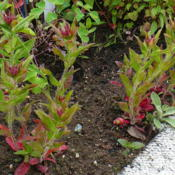 Location: Nora's Garden - Castlegar BCDate: 2016-05-25 5:53 pm. The base foliage often stays red, combining n