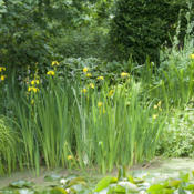 Location: Oxfordshire, EnglandDate: 2016-06-14happy in water or on land, tends to self-seed