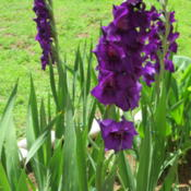 Location: Oklahoma City, OK - my backyardDate: 2016-06-04Dark purple gladiolus