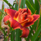 Location: Lewisville, AR (zone 8a)Date: 2016-06-15Hemerocallis 'Fires of Fuji'. The word 'fire' is a very