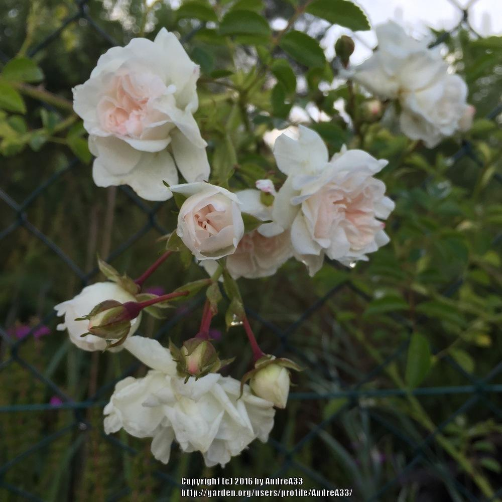 Roses Forum Small White Roses Climbing To Id Garden