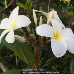 Thumb of 2016-06-17/GigiPlumeria/abe6be