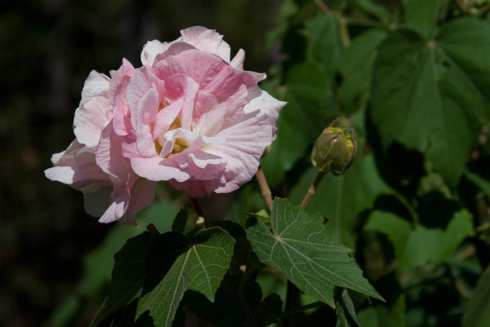 Photo of Confederate Rose (Hibiscus mutabilis) uploaded by MossyOwls
