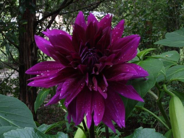 Photo of Dahlia 'Thomas A. Edison' uploaded by gingin