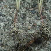 Location: Minneapolis, MinnesotaDate: 2016-06-15Roots of two seedlings with rhizome (thickened stem) de