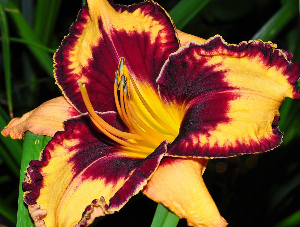 Photo of Daylily (Hemerocallis 'Gavin Petit') uploaded by Pat236