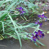 Location: Del Norte Calif amongst the redwoods in my pondDate: 2015-0-12Black Gamecock Deep Purple Louisiana Iris growing in a pond