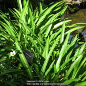 Location: Vero Beach, FloridaDate: 2016-06-18Photo taken at McKee Botanical Garden; labeled Crinum s