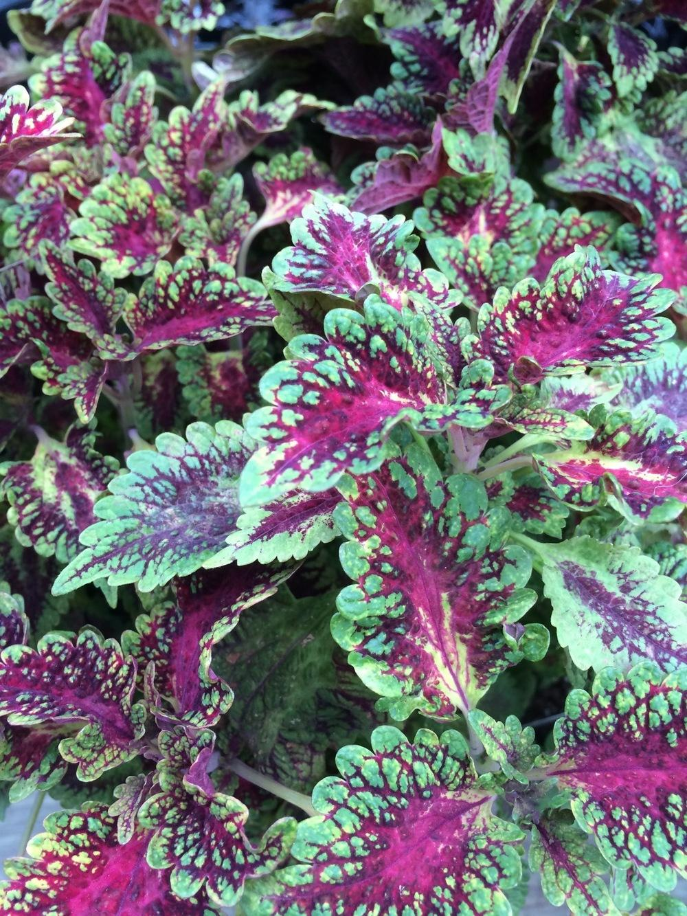Photo of Coleus (Plectranthus scutellarioides Premium Sun® Watermelon) uploaded by Njiris