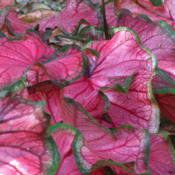 Date: 2014-07-27Puppy Love Caladiums - an exclusive Classic Caladiums Introductio